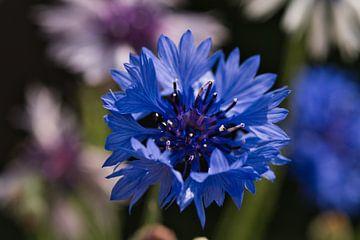 Kornblume, eine blaue Pracht von J..M de Jong-Jansen