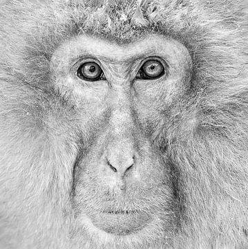 Alpha Männlich (Japanischer Makake) Einfarbig von Harry Eggens
