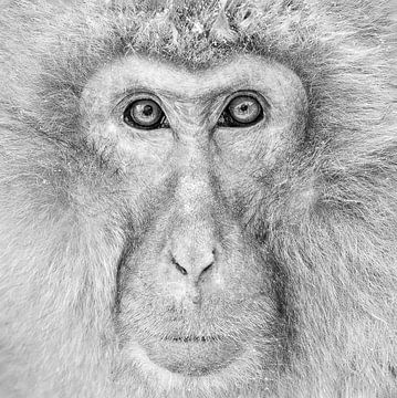 Alpha Male (Japanse Makaak) Monochrome van Harry Eggens