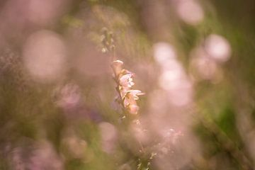 Heide met bokeh van Marianne Rouwendal