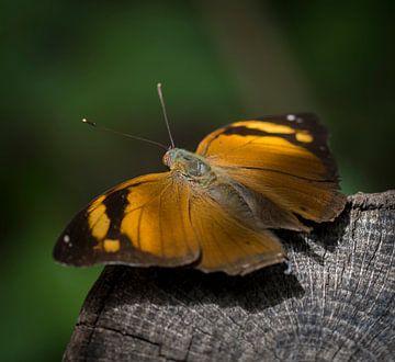 Schmetterling auf einen Baum von Ingrid Ronde