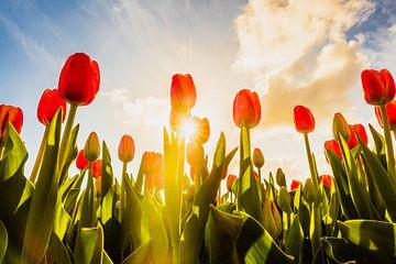 Tulpenlandschap van
