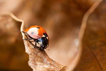 Lieveheersbeestje van Boris Van Berkel