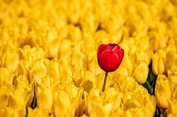 Die rote Tulpe im gelben Feld von Adelheid Smitt