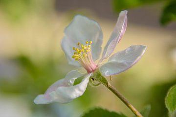 Apfelblüte von Marjan Noteboom