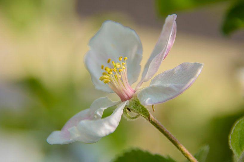 Appelbloesem van Marjan Noteboom