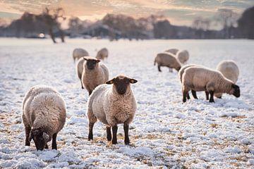 Schafe im Landhausstil in Drenthe von Coby Bergsma