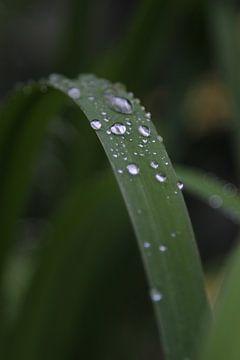 Raindrops sur Roberto Zea Groenland-Vogels