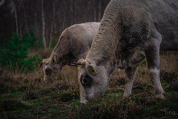2 gassende koeien