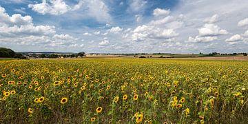 Malerisches Sonnenblumenfeld unter weiß-blauem Sommerhimmel von Uwe Ulrich Grün