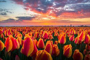Tulpenveld tijdens zonsopkomst van Hanno de Vries