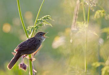 Sprinkhaanzanger (Locustella naevia) zingend met tegenlicht. van