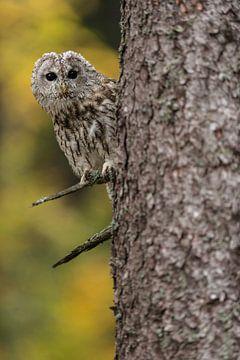 Waldkauz ( Strix aluco ) schaut neugierig um die Ecke. von wunderbare Erde