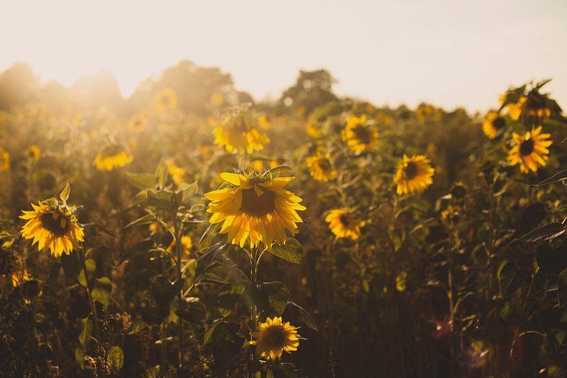Zonnebloemenveld van Melanie Schat