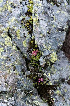 Fleurs roses sur le rocher sur Chantal Koster