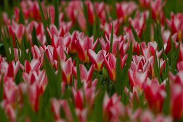 Tulpenfeld von Peter Deschepper