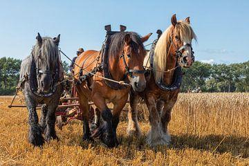 Demonstration der Weizenernte mit Dreifachzugpferden. von Bram van Broekhoven