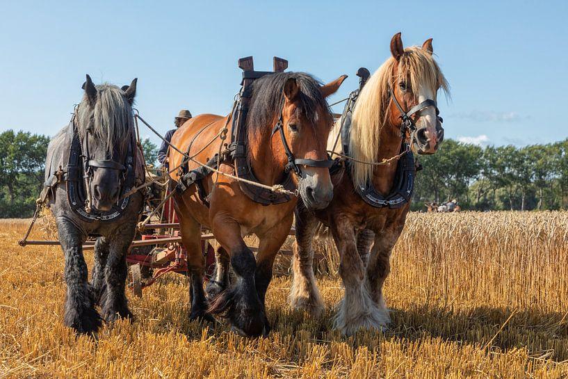 Demonstratie tarwe oogsten met driespan trekpaarden. van Bram van Broekhoven