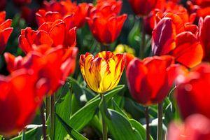 Tulpen raus. Volendam von Ruud Dumas