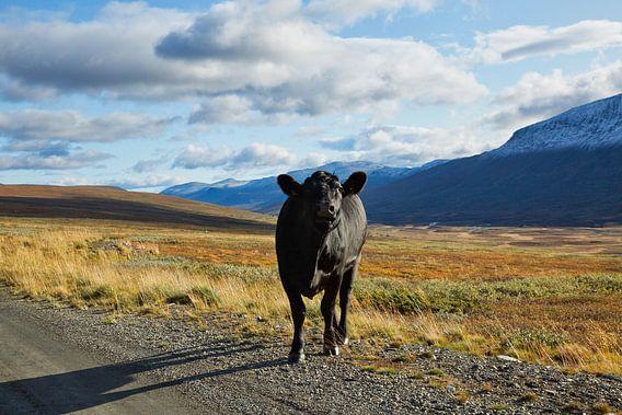 Noorse koe op de berg