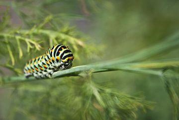 Black Swallowtail Caterpillar sur BL Photography