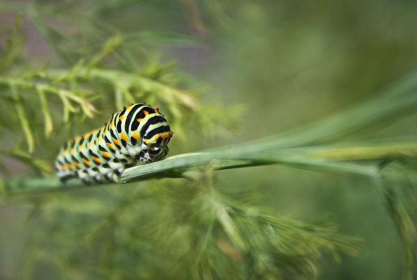 Black Swallowtail Caterpillar van BL Photography