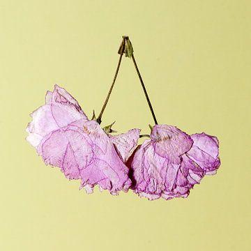 cherry blossom von Umana Erikson