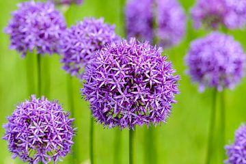 Allium paarse bollen van Ronald van Emmerik