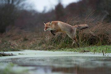 Rotfuchs ( Vulpes vulpes ) im Sprung über einen Bach von wunderbare Erde