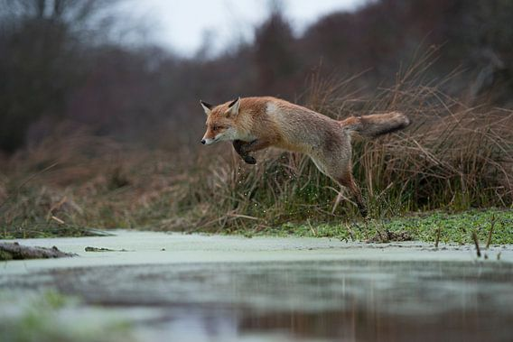 Red Fox ( Vulpes vulpes ), in action, jumping over a little creek in a swamp