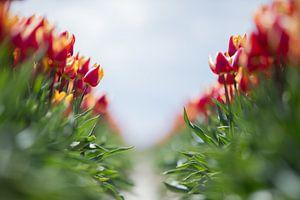 Tulpen van dichtbij