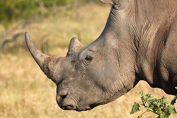 Close-up van een witte neushoorn van Jolene van den Berg