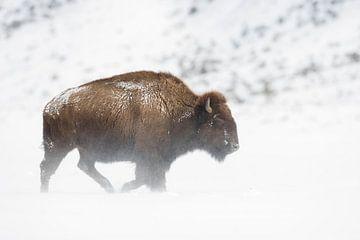 Amerikaanse Bizon ( Bison bizon ) in een sneeuwstorm op het plateau van Yellowstone NP, Wyoming, USA van wunderbare Erde