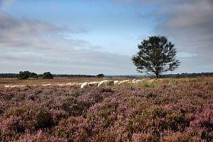 troupeau de moutons dans la lande sur Marika Rentier