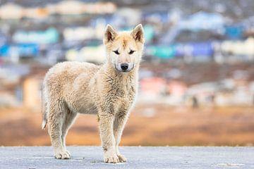 Groenlandse husky pup in Ilulissat van Martijn Smeets