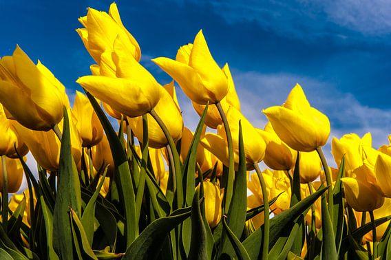 Gele Tulpen in de Wind