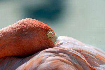 Flamingo von Humphry Jacobs