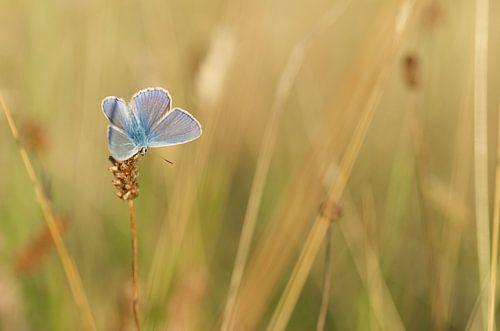 Icarusblauwtje. Vlinder in zijn natuurlijke omgeving van