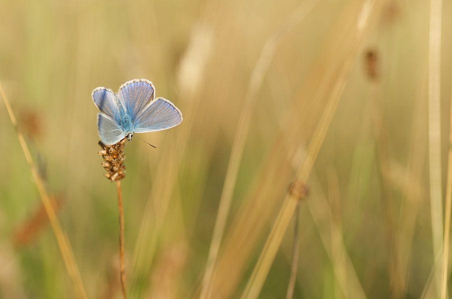 Icarusblauwtje. Vlinder in zijn natuurlijke omgeving
