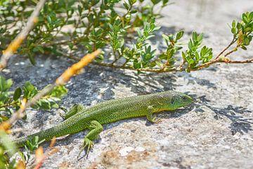 Salamander auf einem Felsen von Ferry Kalthof