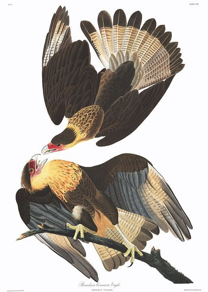 Caracara van Birds of America