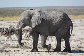 Olifant en zebra's in Botswana, Afrika van R.Phillipson