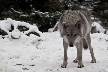 Ein Wolf schaut einen direkt mit dem Kopf nach unten an - ein Wolfsblick; ein Rad von einem Bauernwa von Michael Semenov