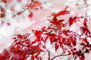 L'érable japonais dans le jardin japonais de La Haye sur