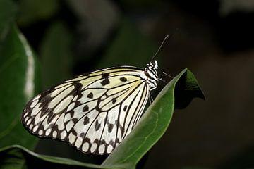 Monarch vlinder (Idea Leuconoe) van Antwan Janssen