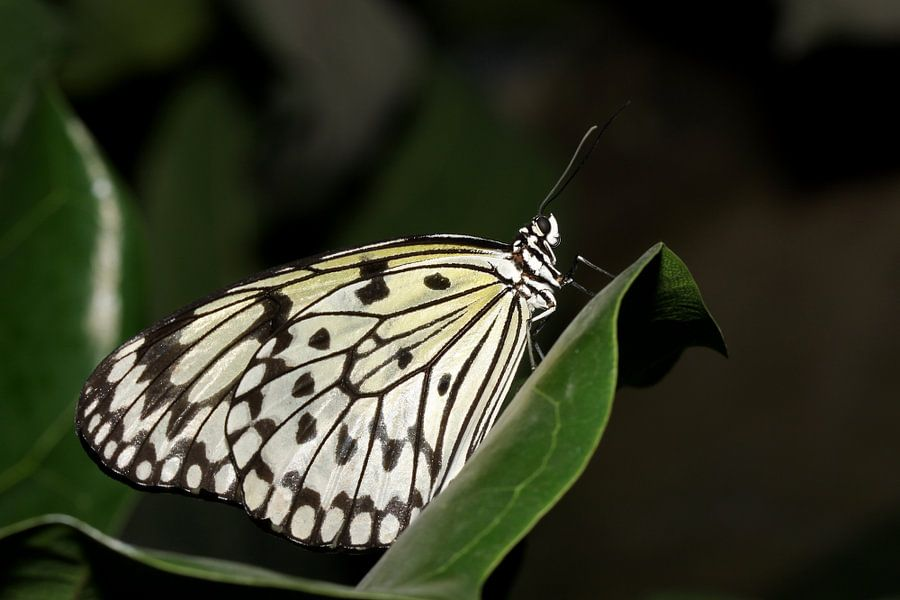 Monarch vlinder (Idea Leuconoe)