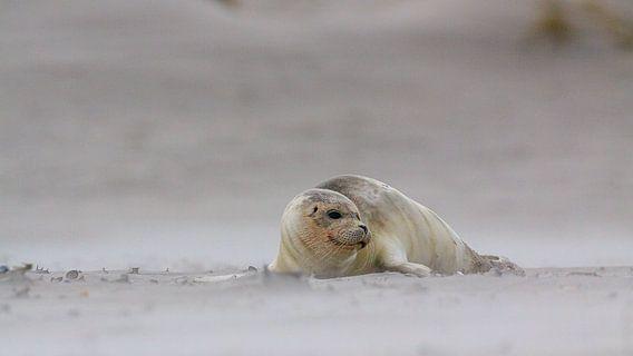 Zeehond in de zandstralen