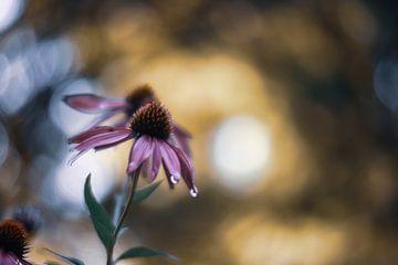 echinacea purpurea met druppeltjes van Tania Perneel
