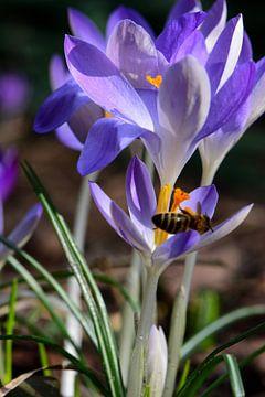 Krokusse und eine Biene von Gerard de Zwaan