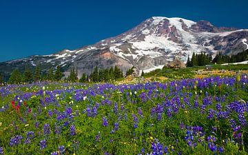 Lupins en fleurs à Mount Ranier, dans l'État de Washington sur Henk Meijer Photography